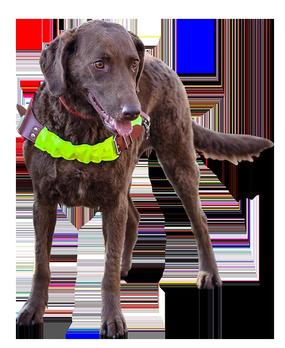 Pies przewodnik w pozycji stojącej ubrany w specjalistyczną uprząż z odblaskiem