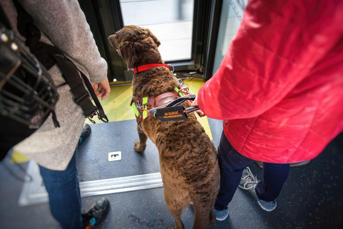 Brązowy pies przewodnik w specjalistycznej uprzęży w autobusie
