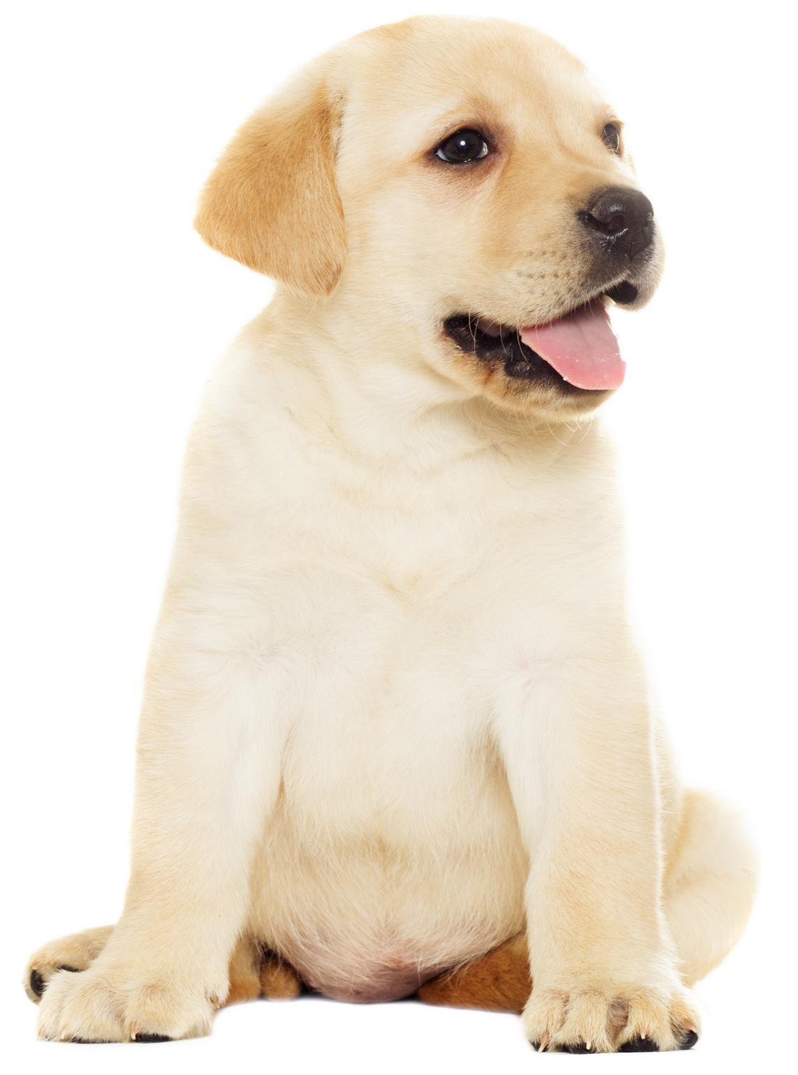 kremowy labrador w wieku szczenięcym