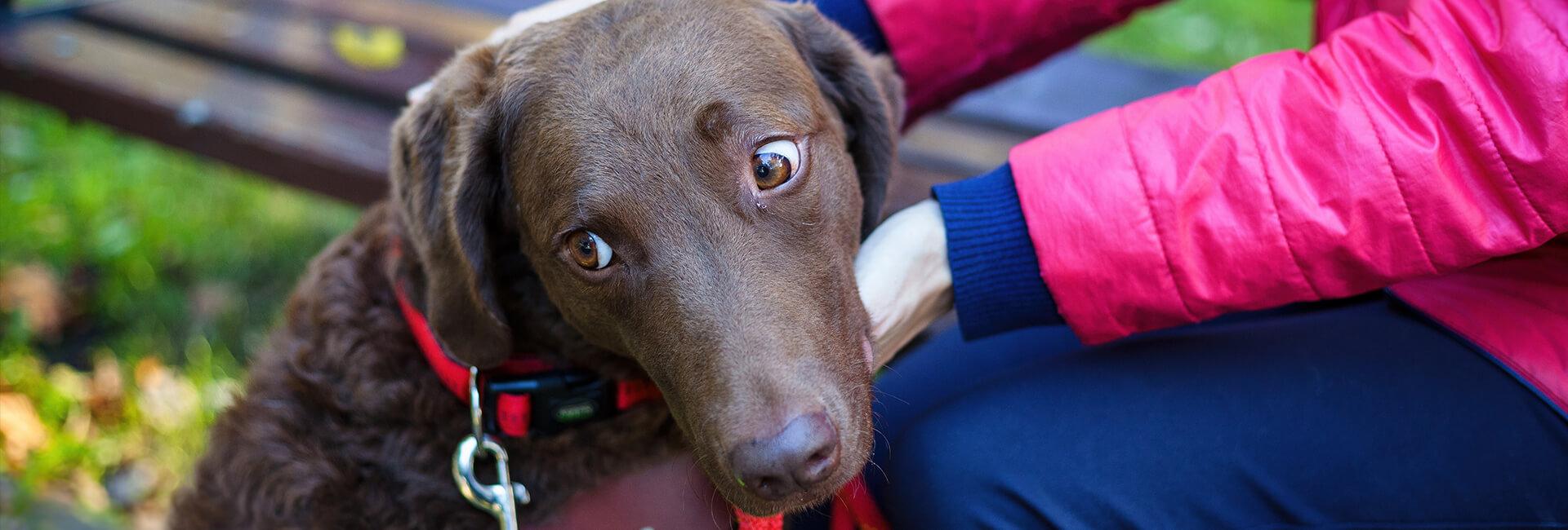 Brązowy pies trzyma głowę na nogach swojego opiekuna. Link do podstrony dla osób ubiegających się o psa przewodnika.