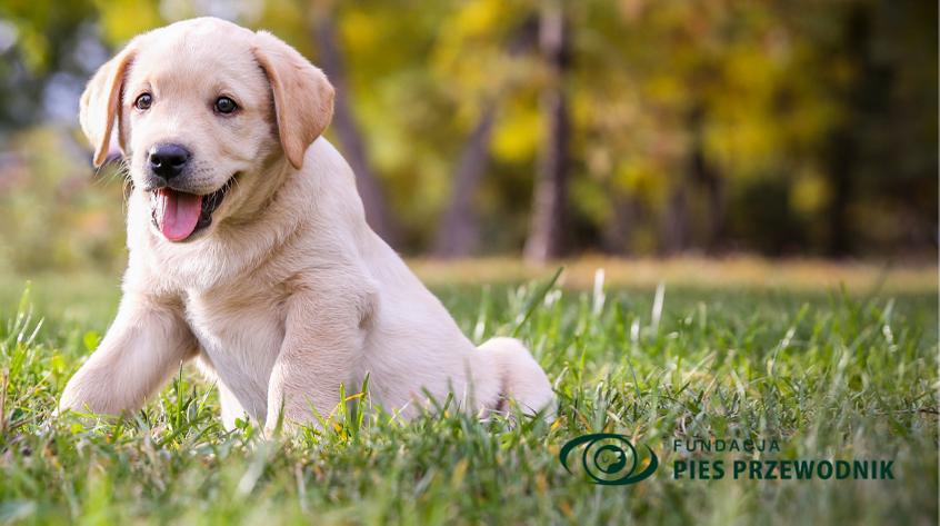 Na trawie leży biszkoptowy szczeniaczek labradora i uśmiecha się