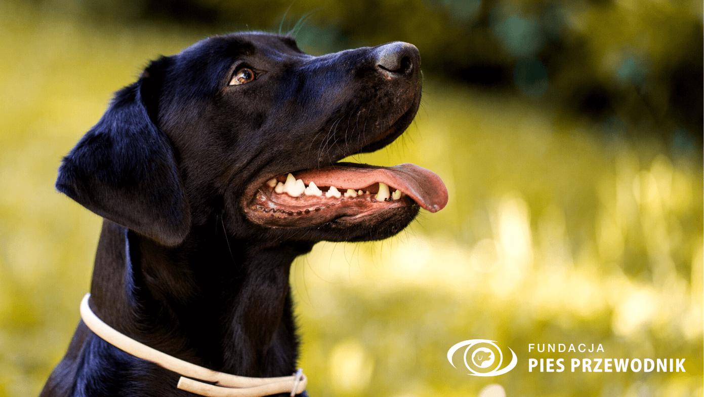 Prawy profil czarnego labradora. Ostrość złapana na jego pyszczku. W tle widać rozmazane zieloną przestrzeń