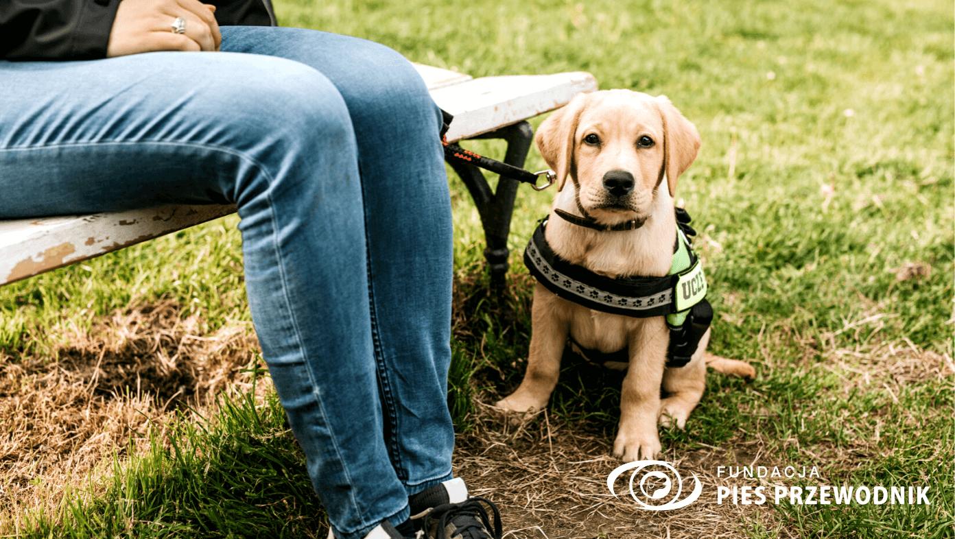 Kremowy szczeniaczek grzecznie siedzi w parku, przy ławce w nogach swojej wolontariuszki
